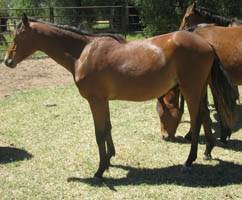 Wizard of Kamilaroi - Yearling
